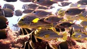 Escuela de pescados rayados y del submarino lucian en el fondo del mar en Maldivas metrajes