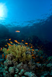 Escuela de pescados sobre el filón coralino Imágenes de archivo libres de regalías