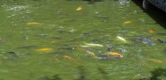 Escuela de pescados tropicales durante hora de la comida fotografía de archivo