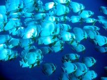 Escuela del Batfish Fotografía de archivo