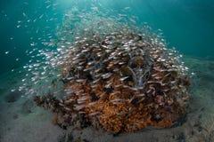 Escuela del Cardinalfish y de Coral Bommie en Indonesia fotografía de archivo