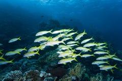 Escuela del Goatfish Fotos de archivo libres de regalías