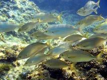 Escuela del salpa de Sarpa Foto de archivo