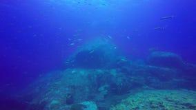 Escuela gigante del filón tropical de los pescados, tiro en tiro subacuático del Mar Rojo, Sudán almacen de video
