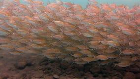 Escuela grande de los pescados Bali subacuático de la caballa almacen de video