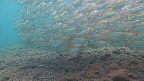 Escuela grande de los pescados Bali subacuático de la caballa almacen de metraje de vídeo