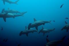Escuela grande de los tiburones de hammerhead en el azul Foto de archivo