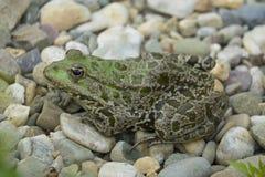esculenta的蛙属-共同的欧洲池蛙 免版税图库摄影