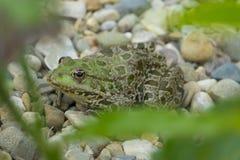 esculenta的蛙属-共同的欧洲池蛙 免版税库存照片