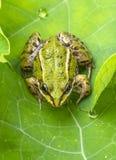 esculenta的蛙属-共同的欧洲池蛙 免版税库存图片