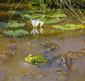 esculenta的蛙属-共同的欧洲池蛙 库存图片
