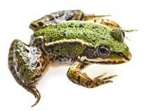 esculenta的蛙属 库存图片