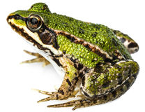 Esculenta Rana - gemensam europeisk grön groda Royaltyfri Fotografi