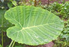 Esculenta stort grönt blad av Colocasia - Taro, elefantöra eller Eddoe växt Royaltyfria Bilder