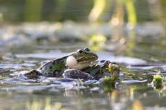 可食的青蛙(esculentus的Pelophylax) 免版税图库摄影