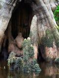 Escultura de Cypress calvo fotografia de stock