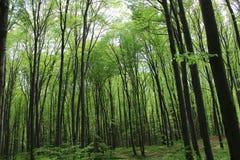 Escuro - arvoredo verde da floresta Foto de Stock