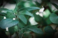 Escuro bonito - folhas verdes da planta da manjericão fotos de stock royalty free