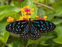 Escuro - borboleta azul do tigre fotografia de stock royalty free