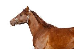 Escuro - cavalo árabe alaranjado isolado no branco Imagens de Stock Royalty Free