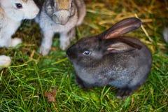 Escuro - coelho cinzento que senta-se em uma gaiola na exploração agrícola fotografia de stock royalty free