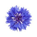 Escuro - cornflower azul Imagens de Stock Royalty Free