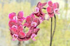 Escuro - fim vermelho acima das flores do ramo, fundo amarelo isolado da orquídea Fotos de Stock Royalty Free