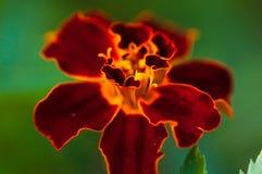 Escuro - flor alaranjada Foto de Stock Royalty Free