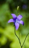 Escuro - flor azul Fotografia de Stock