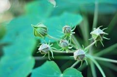 Escuro - flores verdes, nenhumas flores abertas fotografia de stock