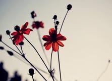 Escuro - flores vermelhas Imagens de Stock Royalty Free