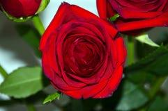 Escuro - a florescência vermelha aumentou Fotos de Stock Royalty Free