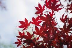 Escuro - folhas de bordo vermelhas no céu como o fundo Foto de Stock