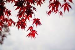 Escuro - folhas de bordo vermelhas no céu como o fundo Fotografia de Stock Royalty Free