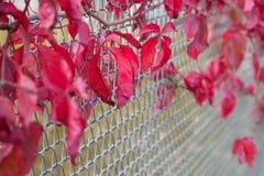 Escuro - folhas do vermelho Fotografia de Stock