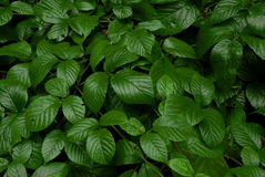 Escuro - folhas verdes da amora-preta Fotos de Stock