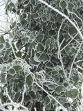 Escuro - folhas verdes de uma planta viny atada com geada nas bordas fotos de stock royalty free