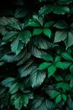 Escuro - fundo verde da folha da folha foto de stock