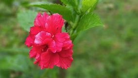 Escuro - hibiscus vermelho que floresce no jardim imagem de stock