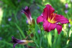 Escuro - lírio vermelho Imagem de Stock Royalty Free