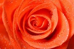 Escuro - a laranja levantou-se com o close-up das gotas de orvalho muito imagem de stock royalty free