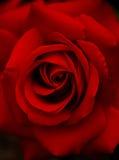 Escuro - o vermelho levantou-se Fotografia de Stock