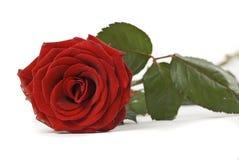 Escuro - o vermelho levantou-se Imagens de Stock Royalty Free