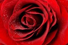 Escuro - o vermelho levantou-se com o close up das gotas de orvalho fotos de stock