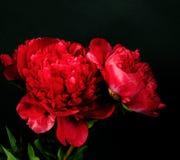 Escuro - peônia vermelha Foto de Stock Royalty Free
