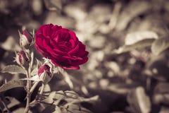 Escuro - rosa do vermelho em um fim do jardim acima Imagem de Stock