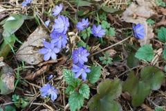 Escuro - Snowdrops azul Fotos de Stock Royalty Free