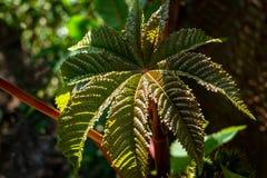 Escuro Textured - verde com a planta de óleo de rícino vermelha, muito bonita, folha communis do Ricinus fotografia de stock royalty free