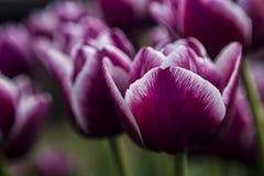 Escuro - tulipas vermelhas Imagens de Stock Royalty Free