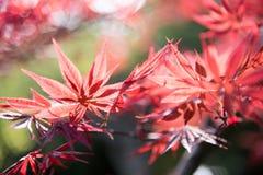 Esdoorn (Acer-palmatum Thunb) bladeren Royalty-vrije Stock Afbeeldingen